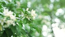 Shaking White Flower Orange Jasmine (Murraya Paniculata) In Tropical Garden