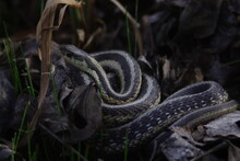 Western Rat Snake, Black Rat Snake, Reptile, Nature, Animal, Wildlife, Grass, Wild, Lizard, Animals, Viper, Serpent, Adder, Green, Reptiles, Scales, Snakes, Black, Forest, Tongue, Eye, Scale
