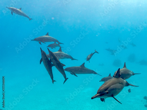 spinner dolphins pass by Tablou Canvas