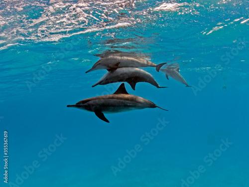 copulating spinner dolphins Tapéta, Fotótapéta