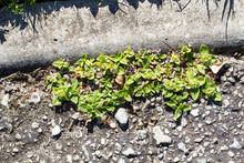Weeds Growing In Tarred Road A...