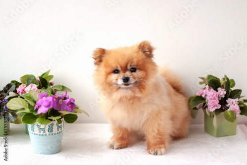 Fotografie, Obraz Boo bear Pomeranian Teddy bear orange colour of the dog sitting near the violets