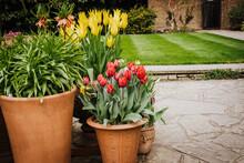 Display Of Tulips (Tulipa) In ...