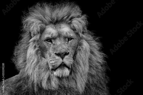 Fototapety, obrazy: One isolated lion in black and white