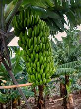 Beautiful Immature Bananas. Ma...