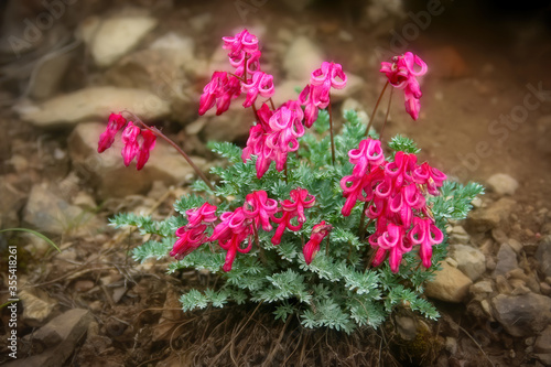 Photo Beautiful bleeding heart flower (Dicentra peregrina)