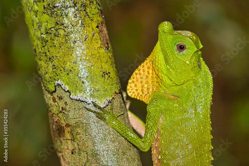 Valokuva Hump-nosed Lizard, Lyriocephalus scutatus, Sinharaja National Park Rain Forest,