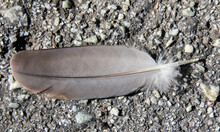 Dove Feather Lying In Tarred R...