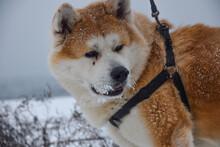 Beautiful Akita Inu (hachiko) ...