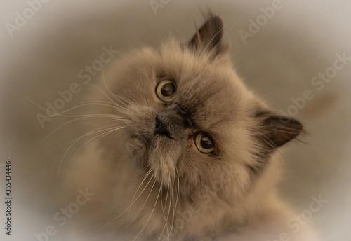 Himalayan Cat Portrait