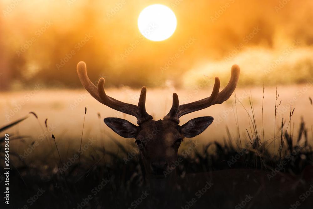 Fototapeta Fallow deer at sunset