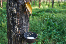 Fresh Rubber Floats Into The Bowl From The Tree