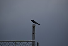 Crow On A Fence Post