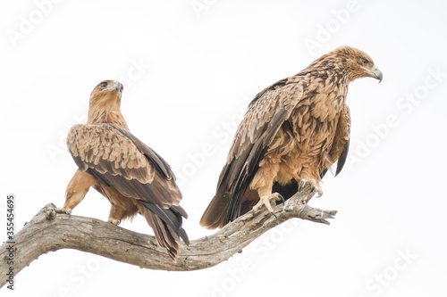 Photo Pair of Tawny Eagles perched in a dead tree, Kruger Park