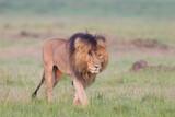 lion walking in Masai Mara