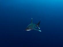 Oceanic White Tip Shark Invest...