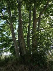 árbol verde con varios troncos