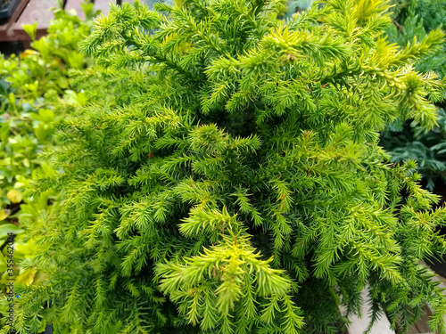 Canvastavla Cryptomeria japonica 'Vilmoriniana'
