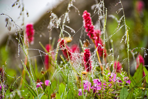 Himalayan Fleeceflower, Himalayan knotweed, Polygonum affine with dew drops on leaves seen during monsoon trek to Valley of Flowers National Park, a unesco world heritage site in Uttarkhand, India Wallpaper Mural