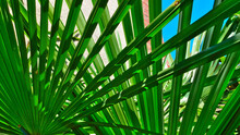 Young Leaves Of Palm Tree , Fr...