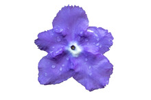 Brunfelsia Hopeana Benth Flowe...
