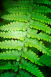 Leinwanddruck Bild Green natural backdrop from green fresh leaves of fern plant growing in a park or garden.