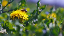 Honey Bee Pollinating Wild Dandelion Flower.