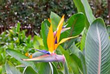 Exotic Orange Flower - Bird Of Paradise (strelitzia Flower)