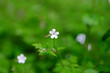 Leinwanddruck Bild Fresh growing small tender garden flowers on a blurred green leaves background in a summer day.