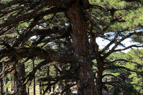 Canvas Print Pins Laricio et Aiguilles de bavella en Corse, sur fond de ciel bleu nuageux et nature sauvage et abrupte des rochers formant une montagne découpée au profil accidenté et dentelé