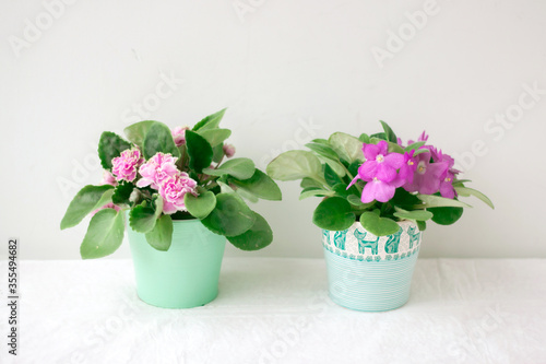 Two violets purple and pink stand on a light background in small pots