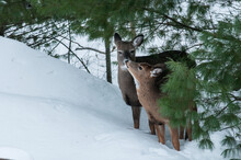 Doe Whitetailed Deer With Youn...