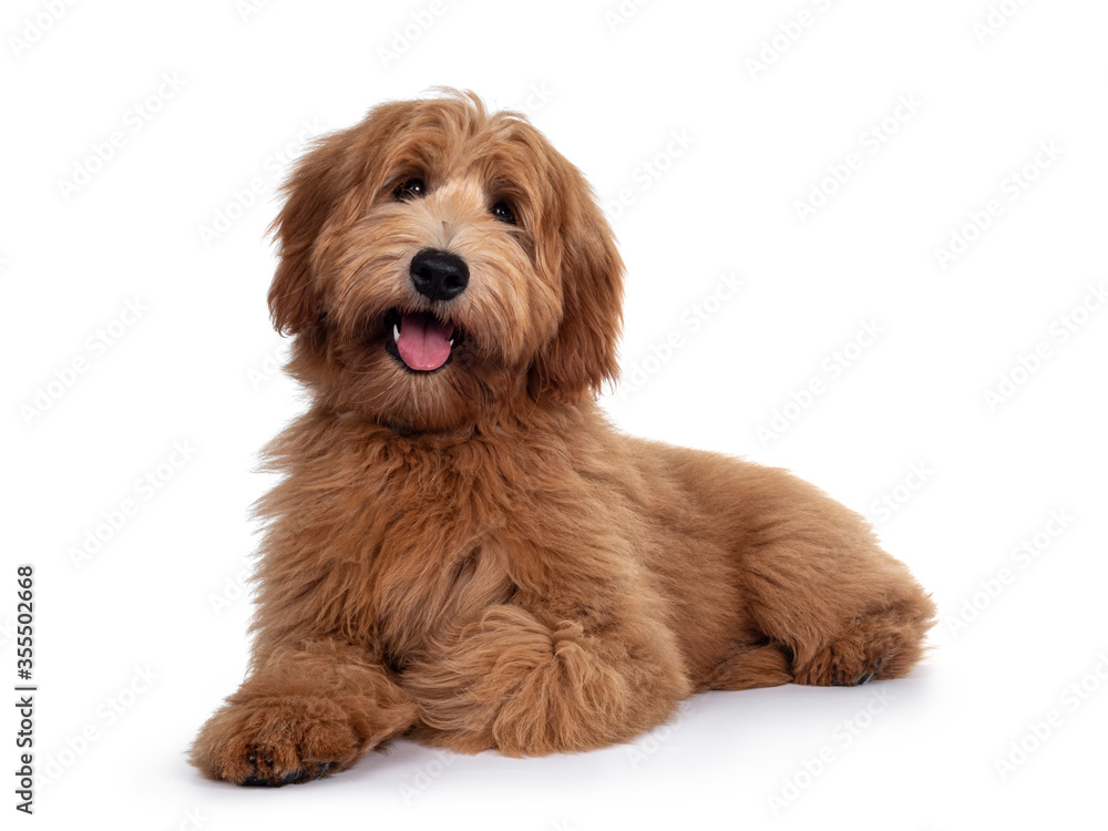 Fototapeta Adorable red / abricot Labradoodle dog puppy, laying down facing front, looking towards camera with shiny dark eyes. Isolated on white background. Mouth open showing pink tongue.