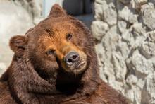 Brown Bear Sits In Zoo.  Big P...
