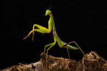 Green Praying Mantis In Branch