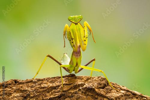 Photo green praying mantis in branch