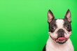 Leinwanddruck Bild - A Boston Terrier dog with a happy face with a smile and a tongue sticking out poses on a green background. Portrait. Copy space.