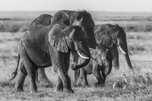 Elephant, Loxodonta Africana, ...