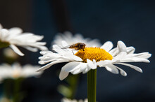 Chamomile And Bee In A Summer Cottage