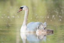 Mute Swan (Cygnus Olor), Mother Swan With Two Cute Small Cubs, Swim On The Water. Cubs With Fluffy Feathers. Diffuse Yellow Background. Scene From Wild Nature. Slovakia.