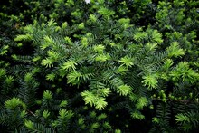 Yew Tree In A Garden. Yew Branch. Taxus Baccata. English Yew