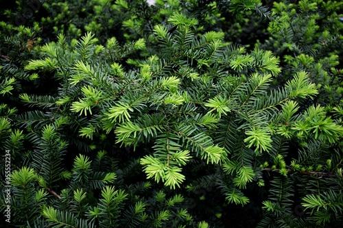Obraz na płótnie Yew tree in a garden. Yew branch. Taxus baccata. English Yew