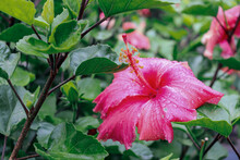 Pink Hibiscus With Rain Drops On Petals