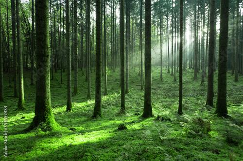 Fotografie, Tablou Magic sunlight in green mossy conifer tree forest landscape.