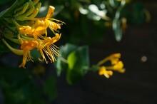 Yellow Honeysuckle Flower On D...