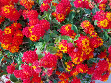 Flowerbed With Red Flower Clus...