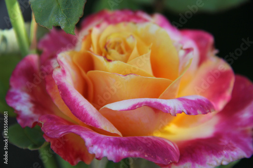 pink and yellow rose close up