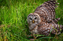 Barred Owl On The Ground After...