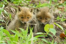 子狐の兄弟