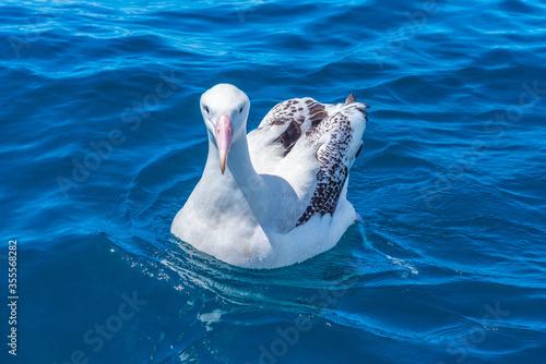 Southern royal albatross near Kaikoura, New Zealand Canvas-taulu